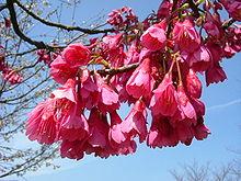 Cerejeira típica de Okinawa (hikanzakura).