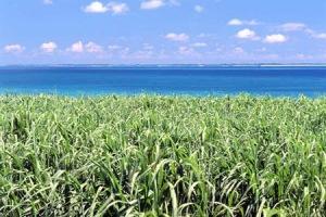 Uuji (cana-de-açúcar) em Okinawa.